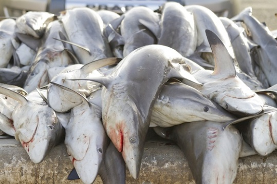 shark-catch-UAE